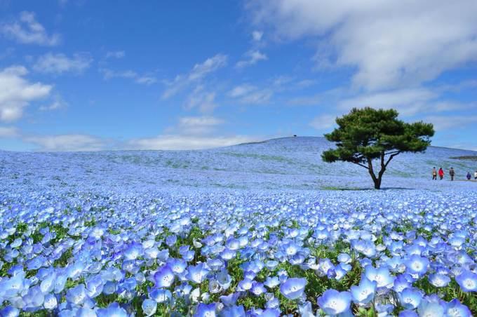 Cánh đồng hoa tỉnh Ibaraki