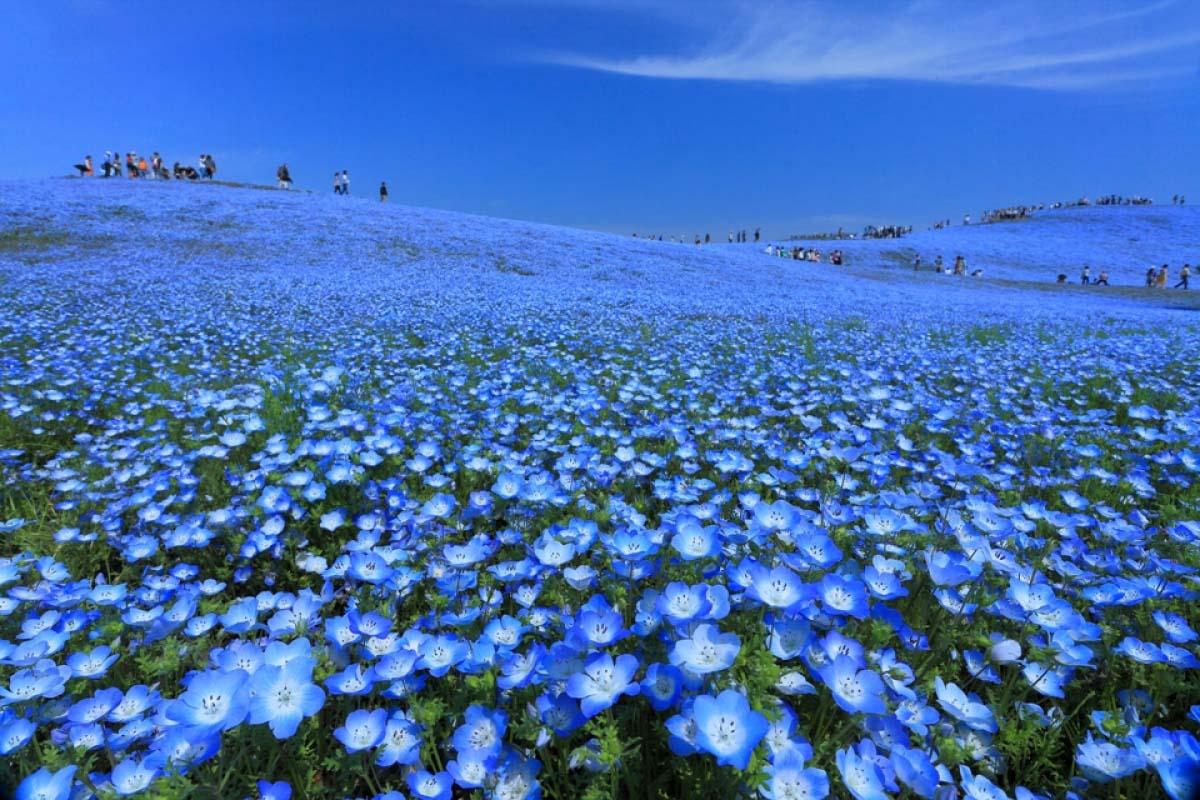 Công viên hoa Hitachi