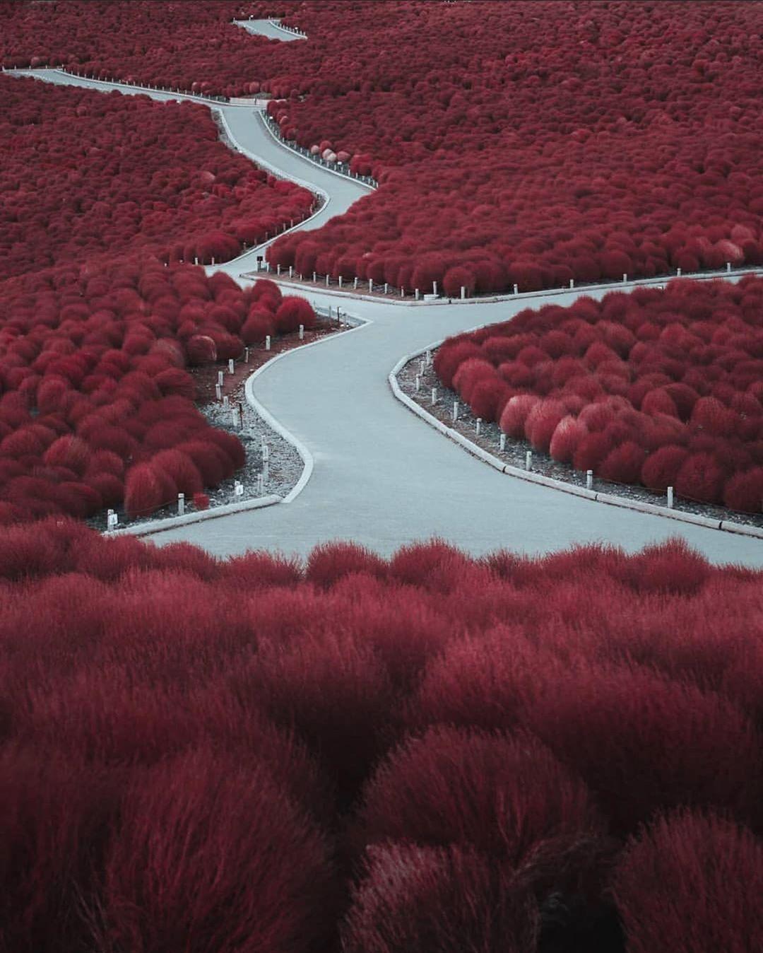 Khám phá cánh đồng hoa tỉnh Ibaraki - Thiên đường hoa 4 mùa chỉ có tại Nhật Bản