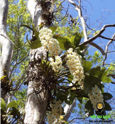 Khám phá vẻ đẹp các loài lan ở Troh Bư (ảnh sưu tầm)