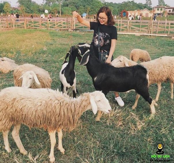 Nô đùa chụp hình cùng những chú cừu dễ thương (ảnh sưu tầm)