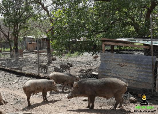 Những chú heo rừng ở Troh Bư (ảnh sưu tầm)