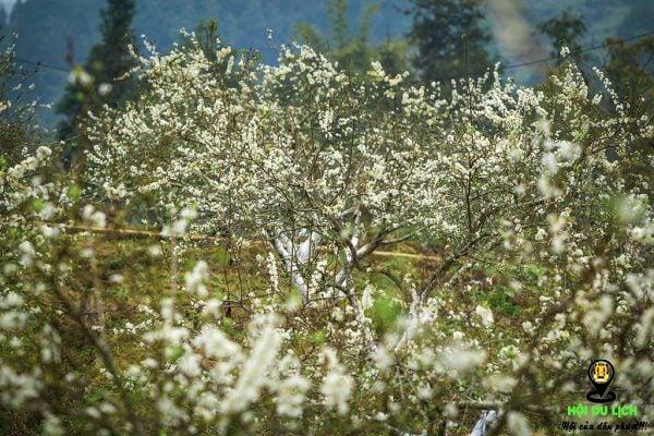 Hoa mận Bắc Hà nở trắng khắp nơi (ảnh sưu tầm)