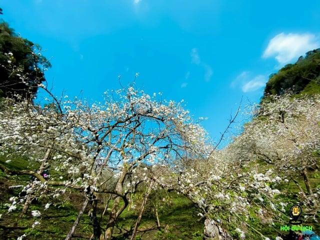 Hoa mận nở trắng khắp thung lũng núi rừng Tây Bắc (ảnh sưu tầm)