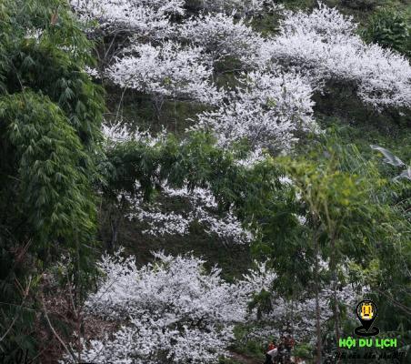 Hoa mận trắng nở đẹp như tranh (ảnh sưu tầm)