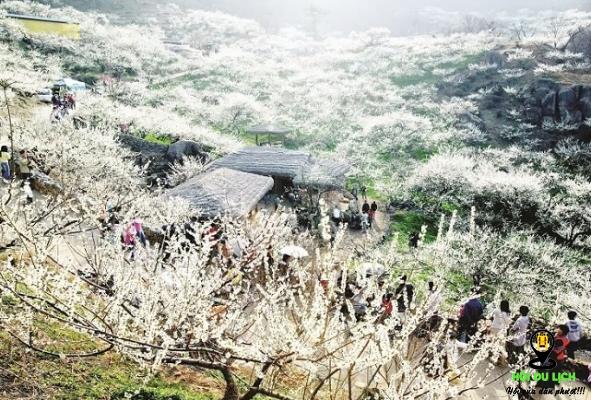 Thung lũng Nà Ka bạt ngàn hoa mận trắng (ảnh sưu tầm)